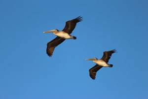Brown Pelicans. Photo by Chris Zambello