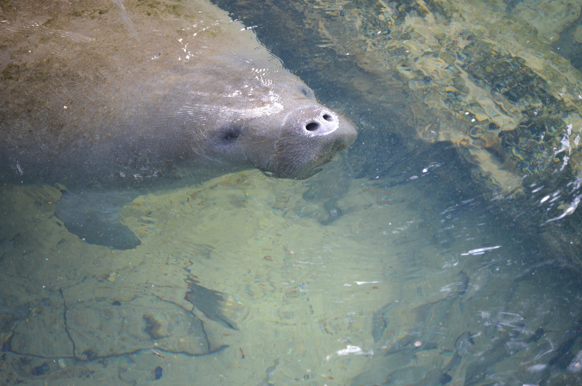 the northern manatee essay One of the gentlest and most defenseless creatures in the world is the manatee find out why this animal is under threat from numerous sources.