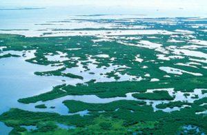 Everglades mangroves' carbon storage capacity worth billions