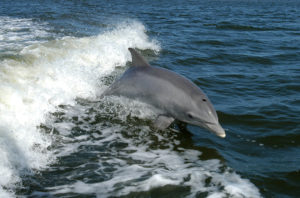 Everglades dolphins have record-high mercury levels, FIU study shows